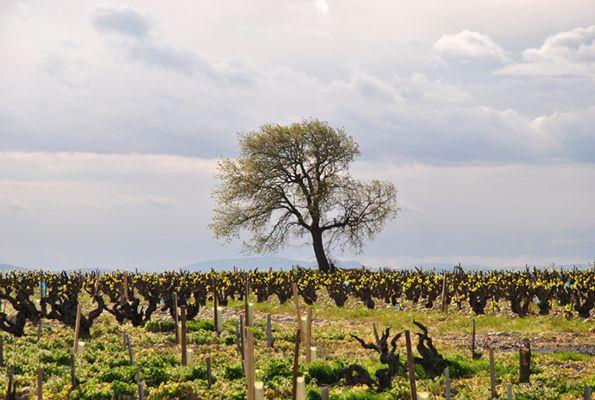 Vignoble au début du printemps